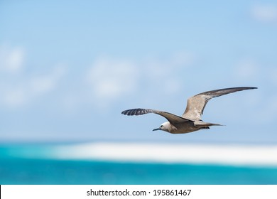 White-capped Noddy (Anous minutus) flying low over surface of sea, Bird Island, Seychelles