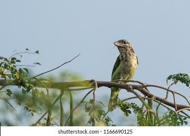 White-cheeked Barbet  bird wandering in the trees early morning in Kabini wildlife sanctuary.