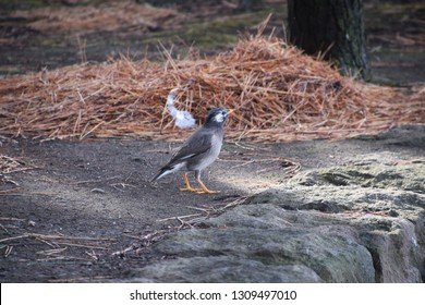 White-cheeked starling (Grey starling)