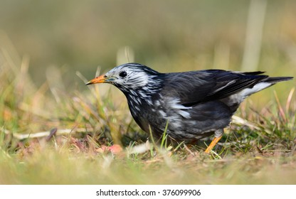 White-Cheeked Starling or grey starling (Sturnus cineraceus) eating insects in grass-field.