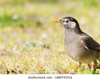 White-cheeked starling sitting on grass