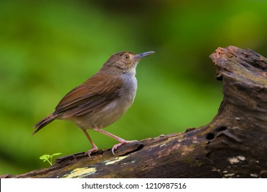 "White-chested Babbler (Trichastoma rostratum) as known as ""Rimba Dada Putih"" perch on log at nature background. Its natural habitats are subtropical or tropical moist lowland and mangrove forests."