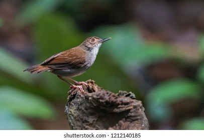 "White-chested Babbler (Trichastoma rostratum) known as ""Rimba Dada Putih"" perch in nature. Its natural habitats are subtropical or tropical moist lowland forests and mangrove forests."