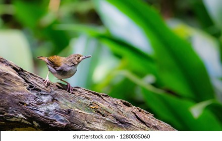 "White-chested Babbler (Trichastoma rostratum) known as ""Rimba Dada Putih"" perch on log at nature background. Its natural habitat are subtropical or tropical moist lowland and mangrove forest. - Image"
