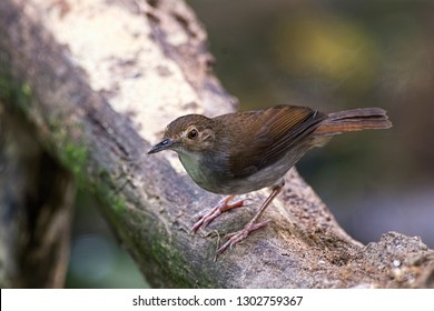 "White-chested Babbler (Trichastoma rostratum) as known as ""Rimba Dada Putih"" perch on log at nature background. Noise visible due to high ISO used"