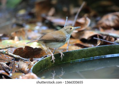 White-chested babbler (Trichastoma rostratum) in Malaysia