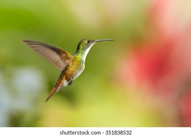 White-chested Emerald Amazilia brevirostris hummingbird from Trinidad hovering in the air with colorful green and red blurred background.