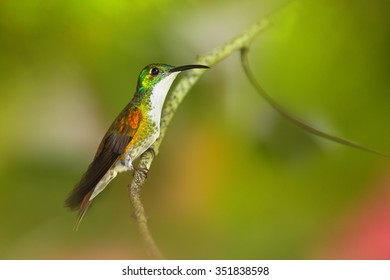 White-chested Emerald Amazilia brevirostris hummingbird from Trinidad perched on twig with colorful green and red blurred background.