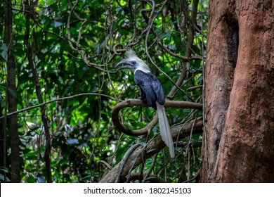 White-crowned Hornbill can be easily found in national parks in southern Thailand.