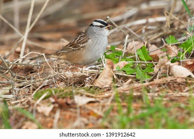 White-crowned Sparrow foraging at the edge of the grass eating a leaf. Ashbridges Bay Park, Toronto, Ontario, Canada.