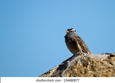 White-crowned Sparrow on a rock beside the Pacific Coast of California