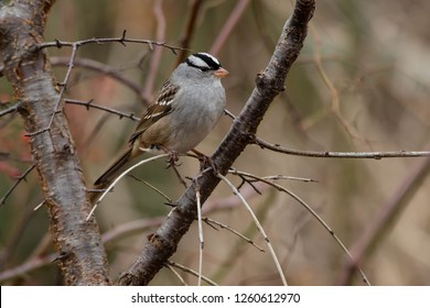 White-crowned Sparrow perched on a branch in a thicket. Lynde Shores Conservation Area, Whitby, Ontario, Canada.