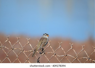 White-crowned Sparrow sitting on a fence
