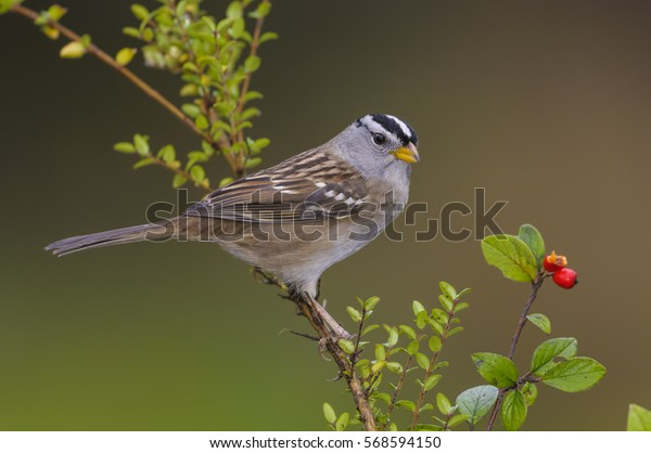 White-crowned Sparrow (Zonotrichia leucophrys) - Victoria BC, Canada