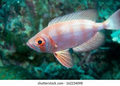 Whiteedged soldierfish