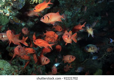 Whiteedged soldierfish in the coral reef