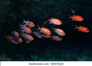 Whiteedged soldierfish (Myripristis murdjan) underwater in the coral reef
