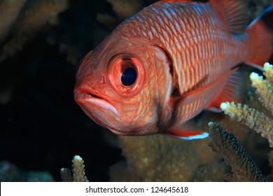 Whiteedged soldierfish (Myripristismurdjan) in the coral reef