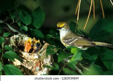 White-eyed Vireo (Vireo griseus) feeding nestlings Illinois