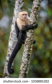 White-faced Capuchin - Cebus capucinus, beautiful bronw white faces primate from Costa Rica forest.