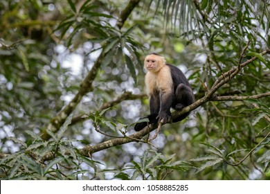 White-faced Capuchin - Cebus capucinus, beautiful bronw white faces primate from Costa Rica forest.