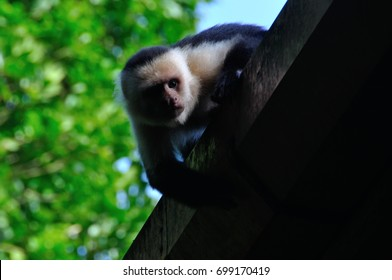 White-Faced Capuchin in Costa Rica
