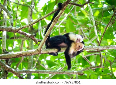 A white-faced capuchin monkey with a baby resting on a tree in Tortuguero National Park, Costa Rica