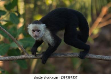 White-Faced Capuchin Monkey in Carara NP in Costa Rica