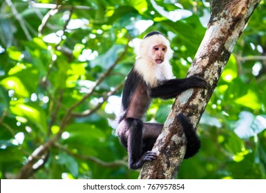 A white-faced capuchin monkey (Cebus capucinus) climbing a tree in Tortuguero National Park, Costa Rica.
