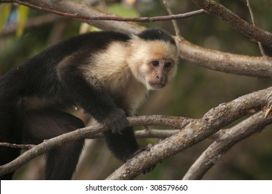 White-faced Capuchin Monkey climbing through the branches, Ometepe, Nicaragua