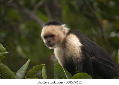 White-faced Capuchin Monkey in deep thought, Ometepe, Nicaragua