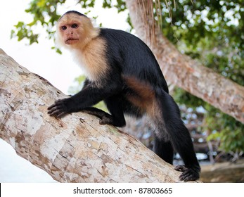 White-faced capuchin monkey on a coconut tree trunk, national park of Cahuita, Central America, Costa Rica