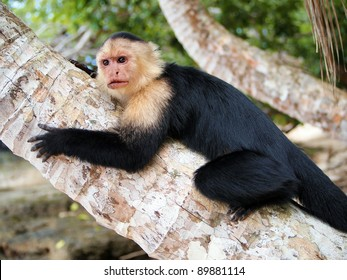 White-faced capuchin monkey on coconut tree, national park of Cahuita, Central America, Costa Rica