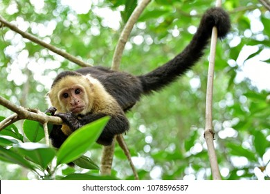 White-faced Capuchin monkey on Isla Damas in Costa Rica