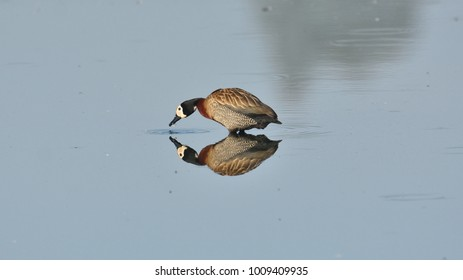White-faced Duck, Dendrocygna viduata