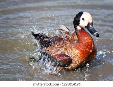 White-Faced duck plashing around in water