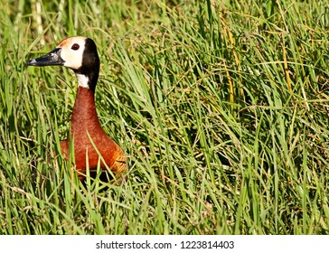 White-Faced duck sitting in long green grass
