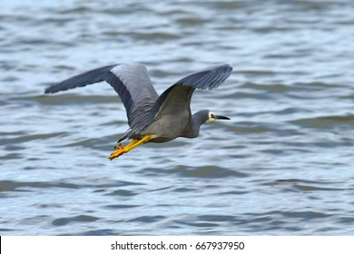 White-faced heron flying across a lake in New Zealand