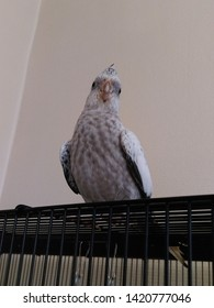 A whitefaced pearl cockatiel standing on top of her cage