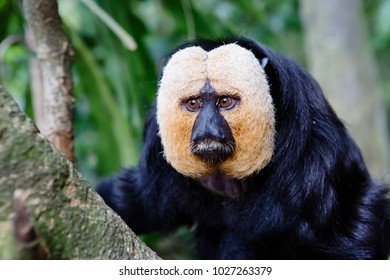 White-faced saki This type of Primate from the order of broad-nosed monkeys. White-faced saki reaches a length of 30 to 48 cm.