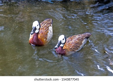 The white-faced whistling duck (Dendrocygna viduata) is small duck or teal swimming on water.