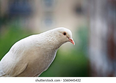 White-feathered pigeon sitting on blurred background in spring day in Moscow, Russia.