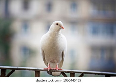 White-feathered pigeon sitting on metal handrail on blurred background in Moscow, Russia.