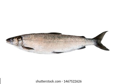 Whitefish (Coregonus lavaretus) - very polymorphic species of fish. Form from East part Gulf of Finland, Baltic sea. Fish isolated on white background