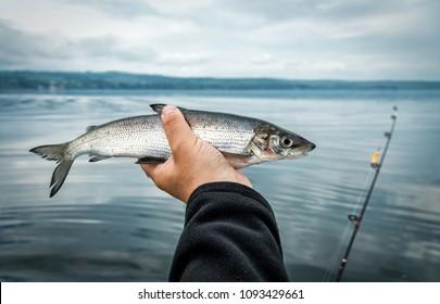 Whitefish - lake fishing trophy