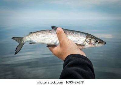 Whitefish portrait in angler hand