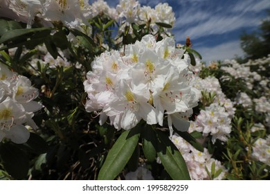 WhiteFlowers on Rhododendron Bush against Blue Sky