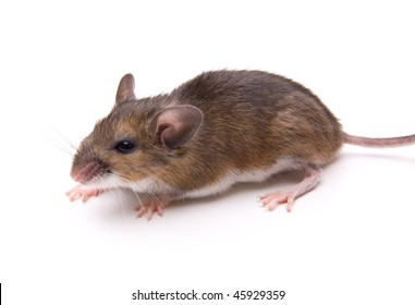 White-Footed Mouse (Peromyscus leucopus) isolated.