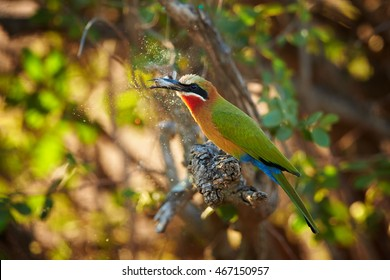 White-fronted Bee-eater, Merops bullockoides in rare moment, feeding on moth in backlit, what causing colorful rainbow effect on scales released from the wings of a moth. Kruger park, Africa.