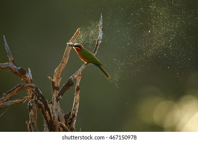 White-fronted Bee-eater, Merops bullockoides in rare moment, feeding on moth in backlit, what causing colorful diamond dust effect on particles released from the wings of a moth. Kruger park, Africa.